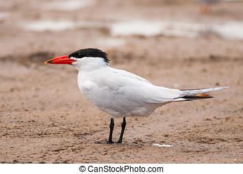 Caspian Tern - A beautiful Caspian Tern, the largest tern in...