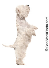 West highland white terrier on hind legs - A west highland...