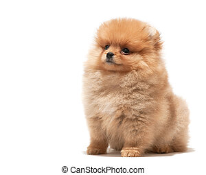 Little orange puppy - A pomeranian spitz puppy; isolated on...