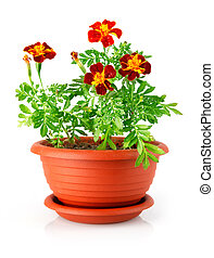 flowerpot with red flowers isolated