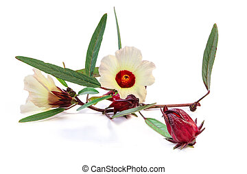Roselle fruits and flowers - Roselle fruits used as food...