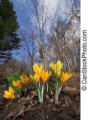 Spring sprang - Abstract image of Crocus, first spring...