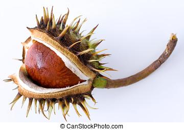 Aesculus hippocastanum / Common Horse Chestnut