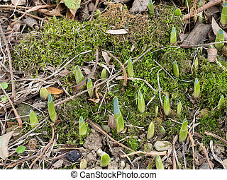 First signs of spring, daffodil bulb shoots outdoors in garden.