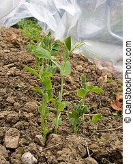 Peas growing in garden under protection. Vegetable gardening.