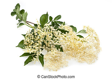 Sambucus - Elderberry flower on a white background