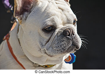 French Bull Dog - Close-Up photo of a female French Bulldog....