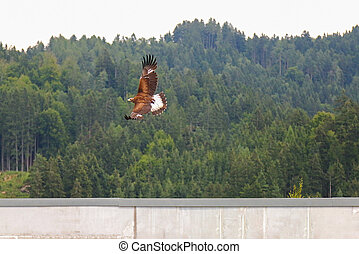 Bird of prey flying, Golden eagle - Bird of prey in flight,...