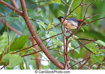 Male Scarlet-backed Flowerpecker - The male Scarlet-backed...