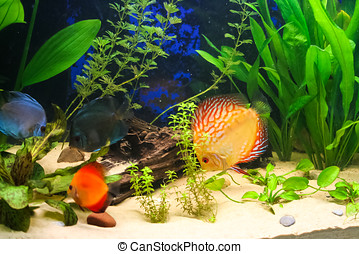 Discus fish in an aquarium - Discus fish swimming in a...