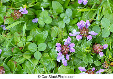 flowers of Self-heal plant Heal All - Top view of Self-heal...