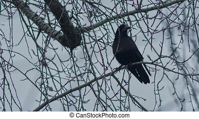 Raven on a Branch At Winter Time - Raven on a branch in...