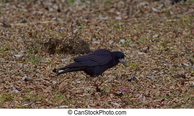 Crow Looking for Food on the Ground
