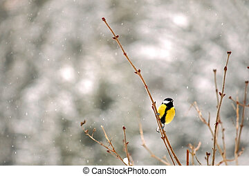 The Great tit bird on a branch - The Great tit bird (Parus...