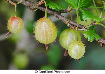 Home grown European gooseberry - Closeup of home grown...