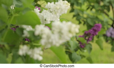 Blossoming Lilac Branches - blossoming white lilac branches...