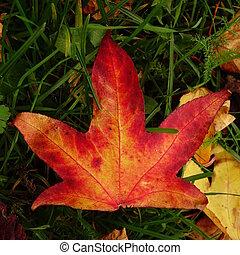 Sweet Gum Leaf - Red and orange autumn leaf of liquidambar...