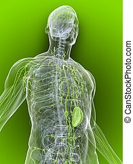 lymphatic system - 3d rendered illustration of a transparent...