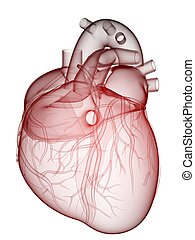 human heart - 3d rendered anatomy illustration of a human...