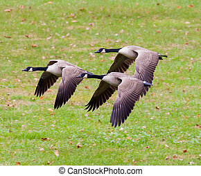 Group of Canada Geese Flying - Group of Canada Goose (Branta...