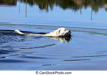 the yellow hunting labrador retrieving - the young yellow...