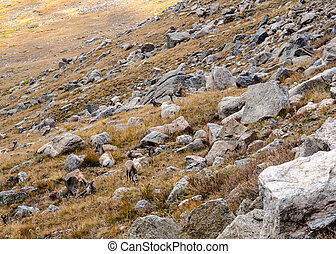 Boulder Field on Mount Evans - A small herd of bighorn sheep...