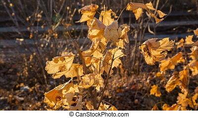 swinging yellow maple leafs