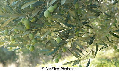 Green olives on tree at plantation - Green olives on olive...