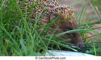 Hedgehog drinking milk on the grass