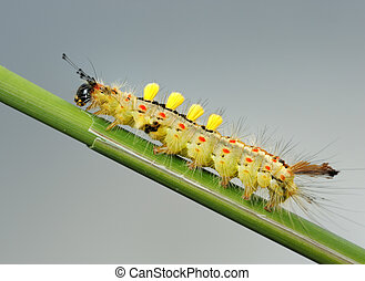 Caterpillar. - Small caterpillar with tufts of hairs on the...