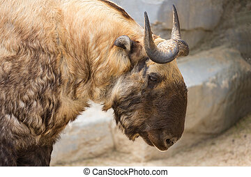 Takin also known as the gnu goat. Wildlife animal. - Takin...