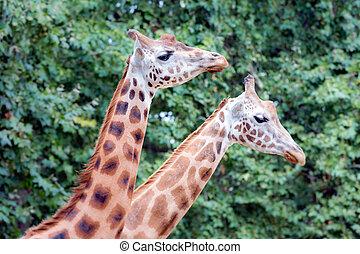 Giraffe Giraffa camelopardalis - Two giraffe Giraffa...