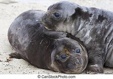 Elephant Seal Pups - Southern Elephant Seal pups (Mirounga...