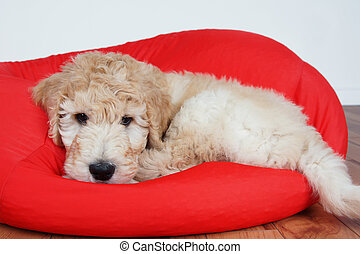 Puppy on red cushion - Goldendoodle puppy resting on red...