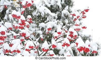 Snowing on white and green background with red rowan berries...