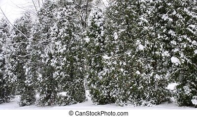 Snow falling in winter on green thuja trees background -...