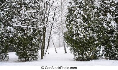 Snowing on green thuja trees background - Snow falling on...