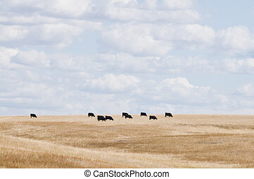 Cows - Herd of cows on a distant hill, Oelrichs, South...