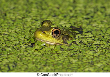 Green Frog Rana clamitans in a pond covered with duck weed