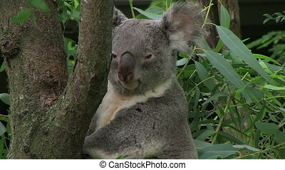 Koala Bear Looking Around - Koala bear turning head and...
