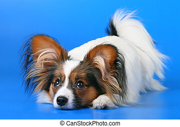 Young papillon - The young papillon on a blue background