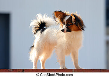 Young papillon - Portrait of the dog of breed papillon.