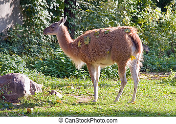 Guanaco living in territory of a zoo