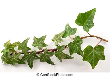 Background Ivy - Close up of a branch of ivy leaves arranged...