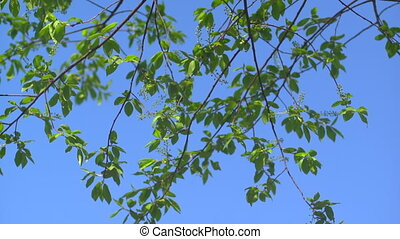 Leaves against the sky - The first spring gentle leaves,...