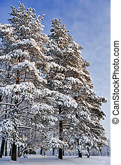 Pine trees in winter day