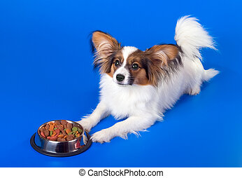 Young papillon and a bowl with meal