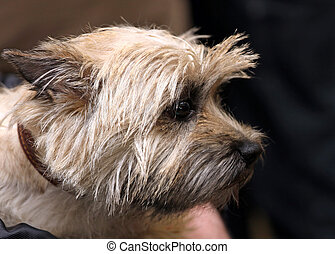 Cairn terrier - Dog of breed Cairn terrier