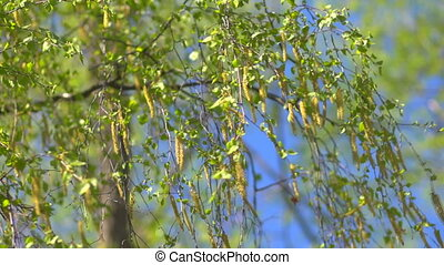 Branches of birch with catkins - The first spring gentle...