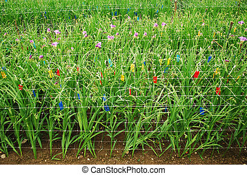 Freesia - manny plants of freesia species growing in...